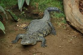 Man finds 8ft crocodile hiding under his bed